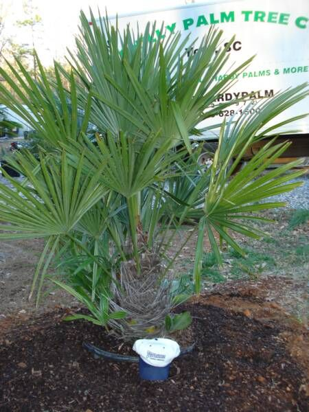 needle palm--most cold hardy. will grow here