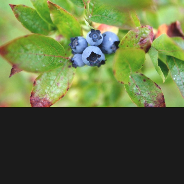 From Everett Herald:  Here's a list of several U-pick blueberry farms in the county. Their schedules are open to change depending on the weather, so it's always best to call or check the farms' websites or Facebook pages before heading out:  - Blueberry Blossom Farm: 8628 Fobes Road, Snohomish; 360-568-4713; www.blueberryblossomfarm.com; 9 a.m. to 8 p.m. Mondays through Saturdays; noon to 7 p.m. Sundays from July 22; large sweet hybrid varieties including dukes, Spartans, Sierras and…