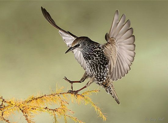Starling - Incredible images of birds in flight, captured with a special camera set-up.  Amazing movements of birds Gerry Sibell has been able to immobilize