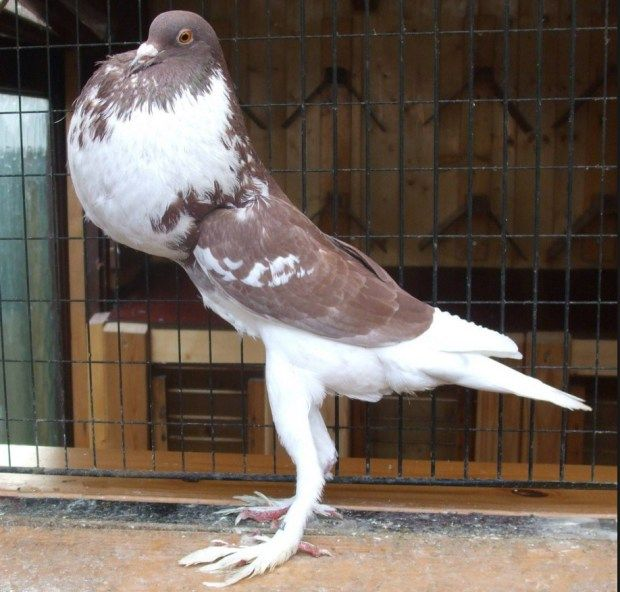 English Pouter Pigeon; Almost all kind of pouter body shape and structure is same. Like a ball on the stick. The English Pouter is much larger than Brunner Pouter; they are almost 16 inches long. English Pouter is very friendly pigeon breed.....