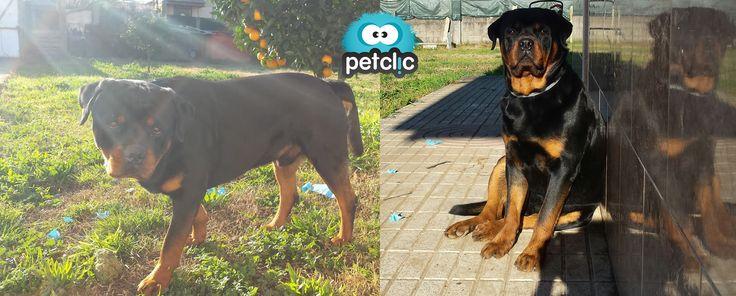 ¡Un rottweiler muy cariñoso! www.petclic.es