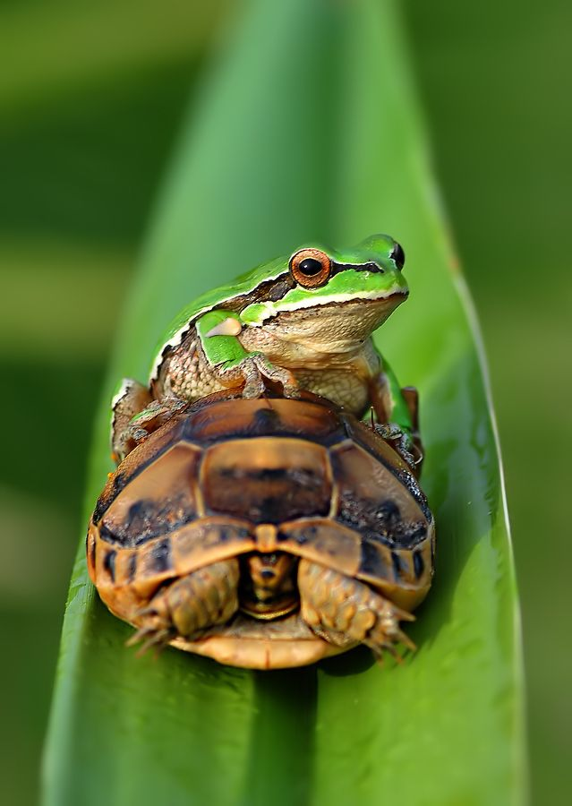 470 best images about FROGS on
