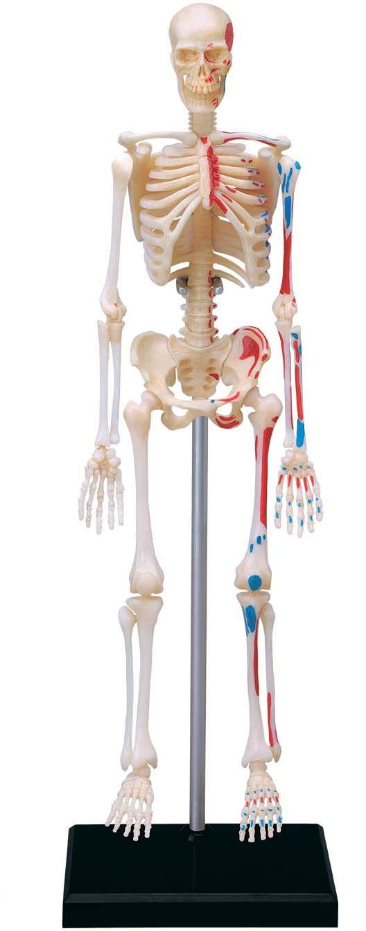 4D Human Anatomy Skeleton Model| TEDCO Toys ® $23