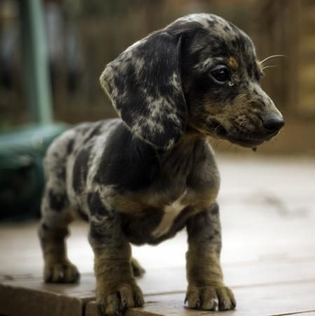 Anubis & Perl the Mini Dachshunds | Puppies | Daily Puppy                                                                                                                                                     More