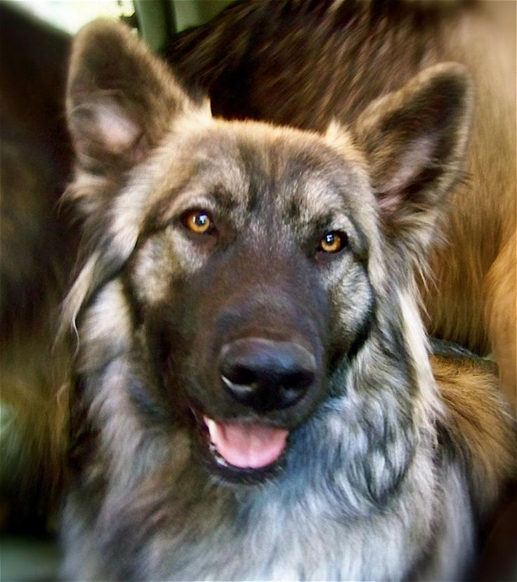The American Alsatian, or the modern direwolf. I MUST have one!