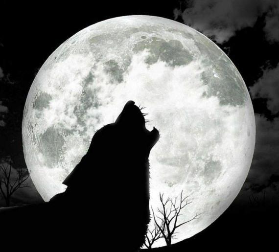 Картинки и рисунки волков, фотографии с волками в стаях и по одиночке
