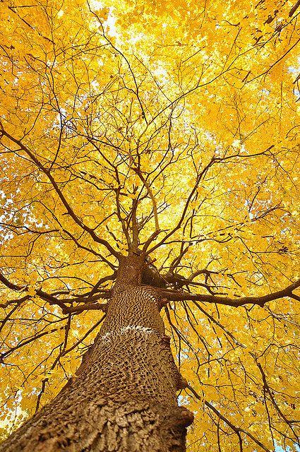 Крона дерева. Ginkgo biloba
