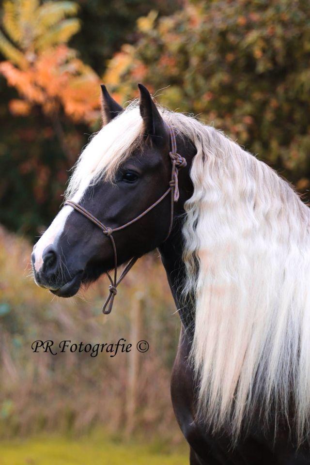 Franzi SF mare Owner Karla van Weerden. Love the color of this horse