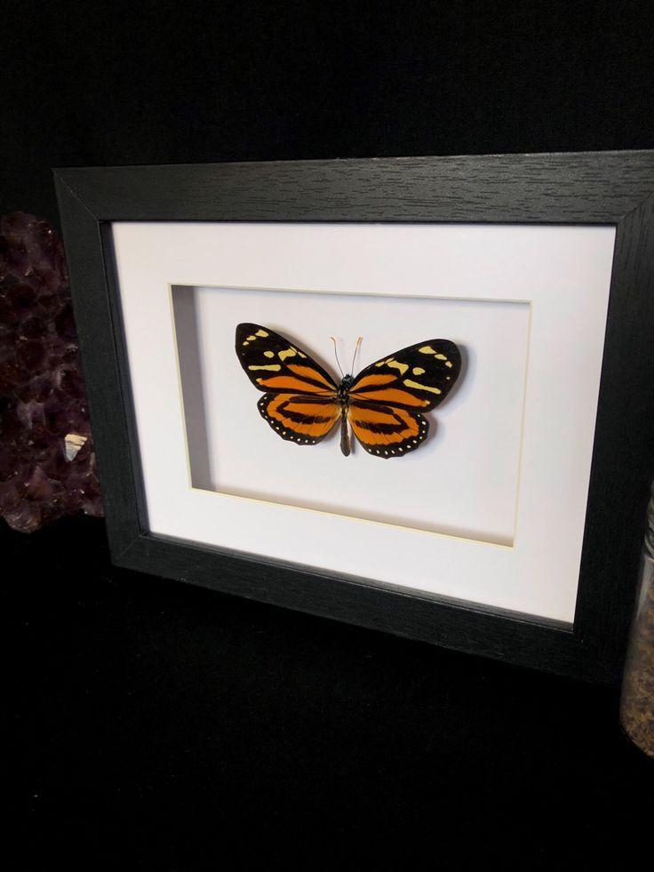 Taxidermy Butterfly by Oddity Asylum. Orange Halloween art #headbands[ad_1]  Tax… – Head Bands