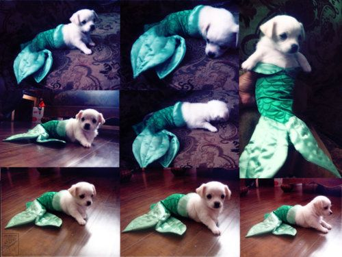 MerPuppy.: Mermaids Puppies, Halloween Costumes, Dogs Costumes, Dogs Heavens, Mermaids Costumes, Mermaids Tail, Funny Puppies, The Little Mermaids, Animal
