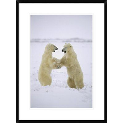 "Global Gallery 'Polar Bear Two Males Play-Fighting' Framed Photographic Print Size: 30"" H x 22"" W x 1.5"" D"