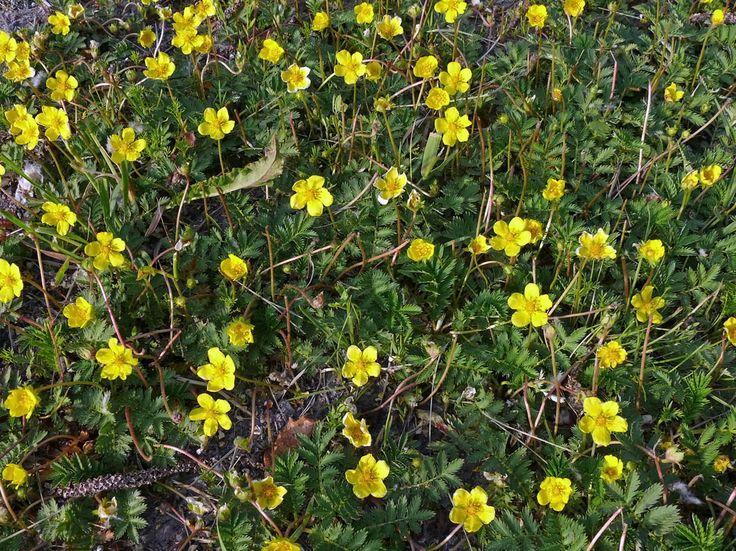 Gåsört, Potentilla anserina - Blomväxter - NatureGate