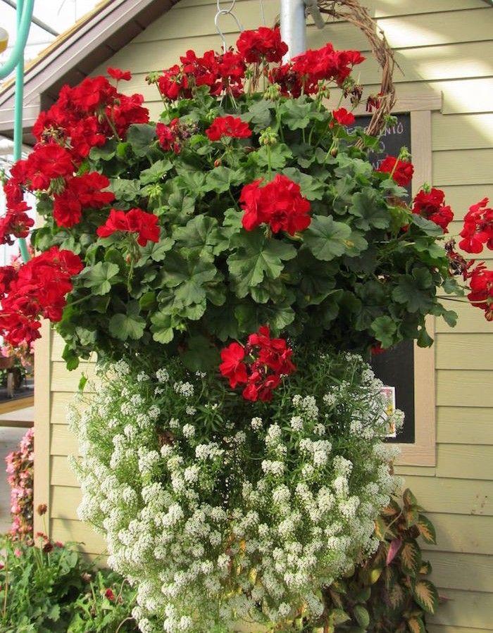 Best 25 geraniums ideas on pinterest caring for geraniums geranium care and fertilizer for - Quand planter les geraniums ...