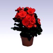 Virágos begónia piros, Begonia elatior 30 cm magas 12cs