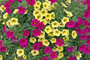 Petunias Petered Out? Try Million Bells