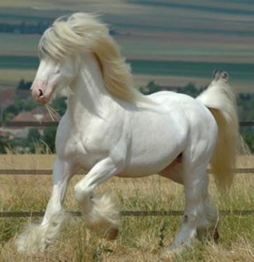 imagenes de caballos de la raza Clydesdale