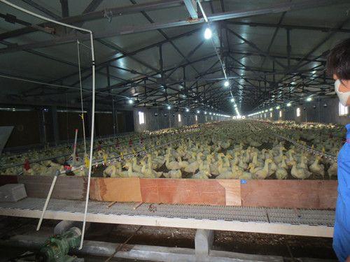 Duck Пластиковый пол фекальные утечки - Вэйфан дней Шили Plastic Co., Ltd.