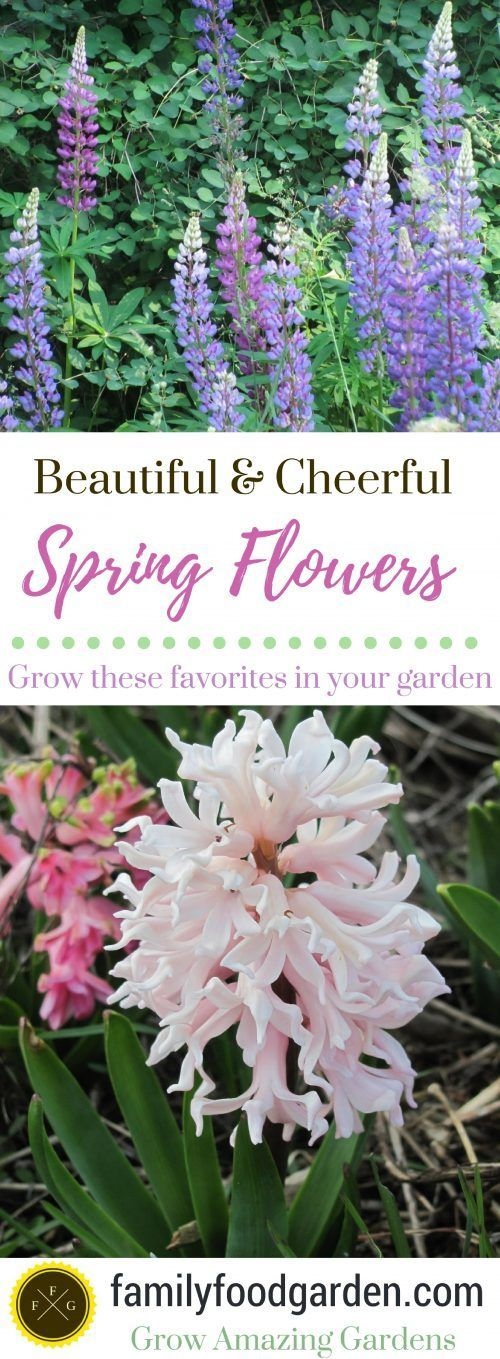 Spring Flowers- Hyancinth Bulbs, Lupines & Lilacs ~Family Food Garden