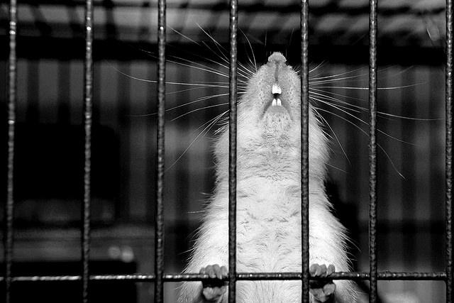 Imprisoned rat: Fancy Rat, Adorable Ratties, Photo
