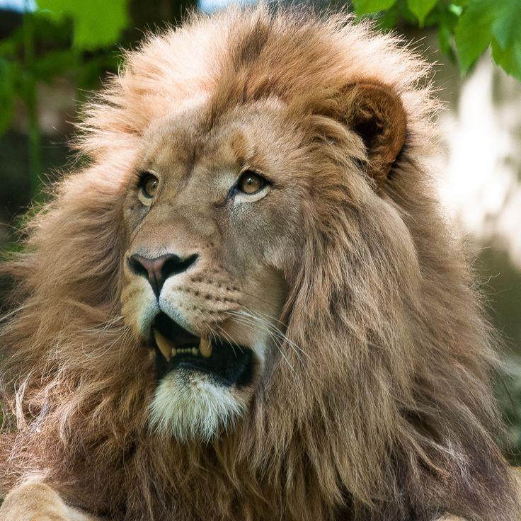 Simba El Rey
