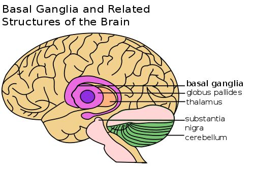 Basal Ganglia and Related Structures.svg