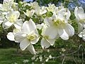 Cornus florida - Wikipedia, the free encyclopedia: Beautiful Dogwood, Florida Bays, Flowers Plants, Cornus Florida, Northern Florida, Woodland Species, Bays Beautiful, Florida Flowers, Flowers Dogwood