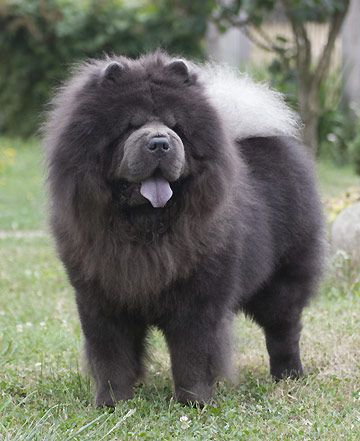 grey chow chow dog - Google Search