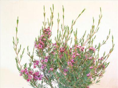 Verticordia plumosa • Australian Native Plants • Plants • 800.701.6517