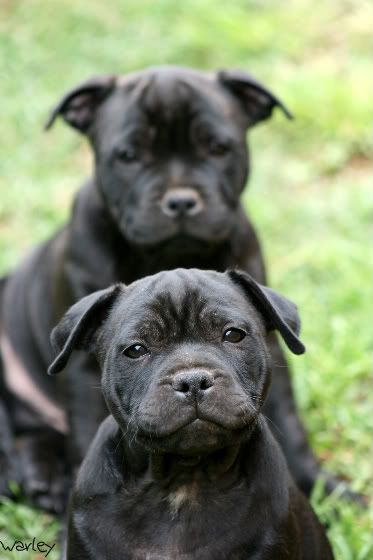 two great expressions on a pair of staffordshire bull terrier puppies