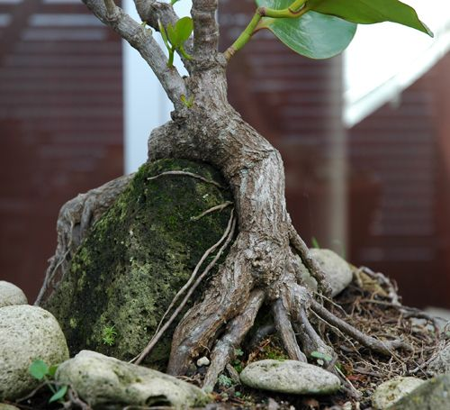 Epiphytic Kapuka - Griselinia lucida grown from cutting over pumice to expose root formation.