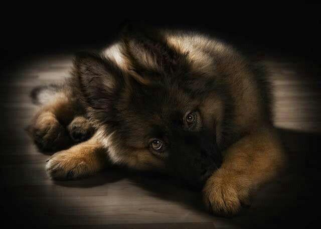 gsd puppy (be still my heart!)
