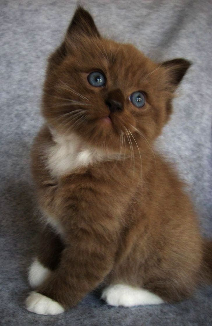 Light Chocolate And White Socks What A Combination Cute Cat Breeds Kittens Cutest Cute Cats