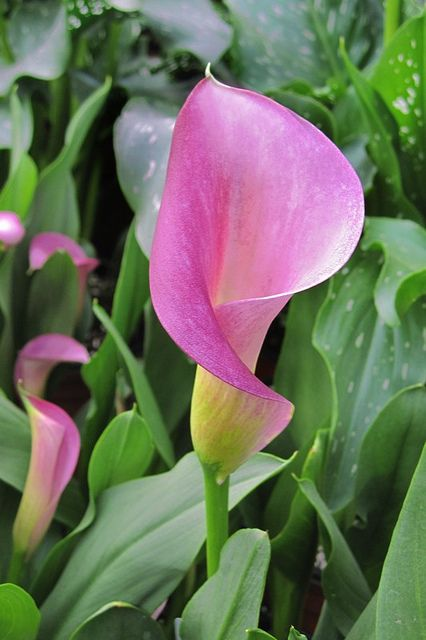 Calla Lily...maybe a single flower with double hearts instead of leaves?