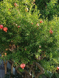 "Choose a variety. Punica granatum is a small deciduous tree. It will grow to about 2.5 metres tall, with orange flowers during the summer season. The dwarf variety ""Nana"" will grow shorter, to about 1 metre. Or, you might like the frilly flowers that grow on the ""Beautiful"" variety.: Gardens Ideas, Pomegranates Trees, Frilly Flowers, Edible Ruby, Gardens Trees, Fruit Sparkle, Juicy Pomegranates, Punic Granatum, Decide To Trees"