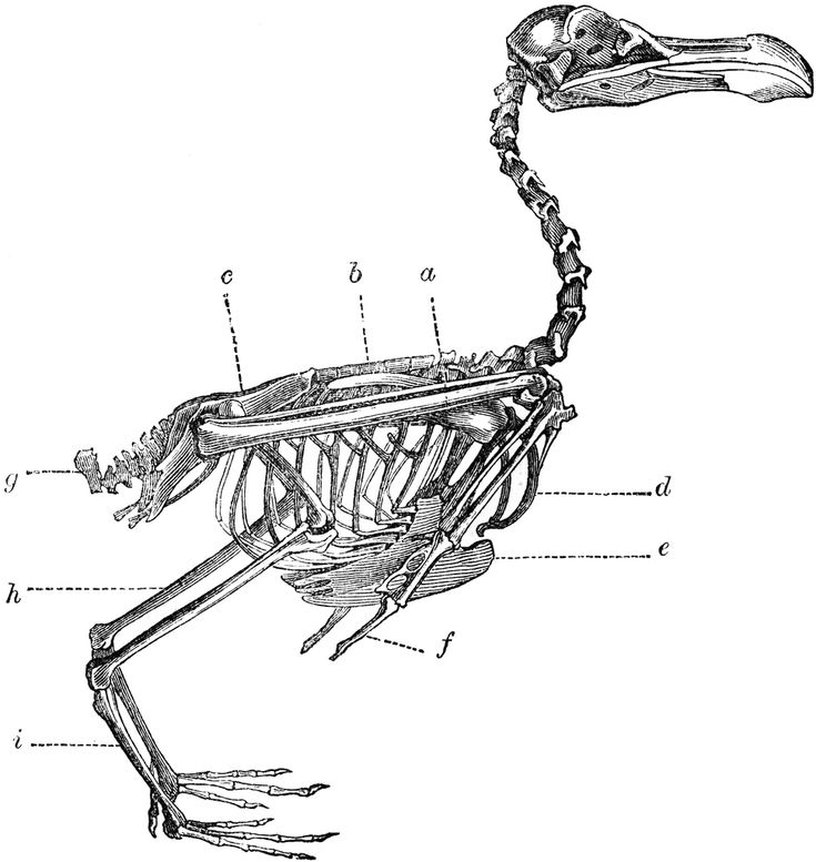 22 best bird skeletons images on pinterest bird skull animal skeleton of a bird clipart etc ccuart Images
