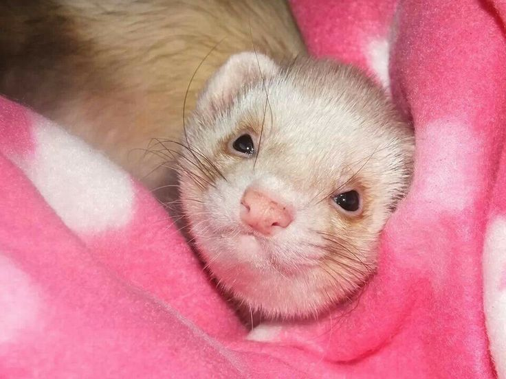 Ferret face image in a dress
