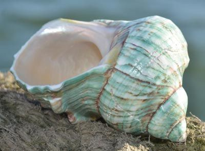 Large Shells from Dorset Gifts in the UK - including polished shells, nautilus sea shells, large seashells, giant shells, voluta nobilis, mexican trocha shell, lambis chiagra, frog shell, melon shell, australian trumpet seashell, left handed whelk, bulmouth helmet, queen helmet, giant spider conch, shell decoration, shell gifts, beach shells, polished shells, shell gifts, collectible shells, display shells, window display shells, starfish, star fish, nautilus, pearlised nautilus, polished…