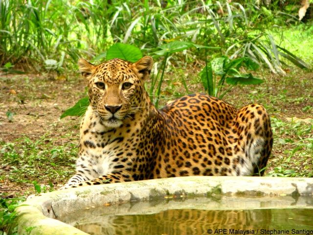 What a gorgeous leopard http://www.oysterworldwide.com/gap-year/zoo-assistant-internship-in-malaysia/