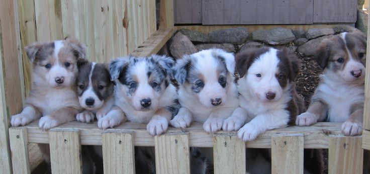 Border collie puppies! They look like they are mixed with Australian shepards!