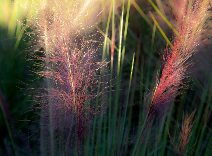 Ringling - Muhly Grass (Muhlenbergia capillaris)