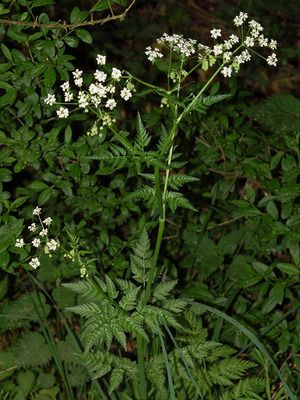 Hundekjeks - Anthriscus sylvestris - Naturfakta