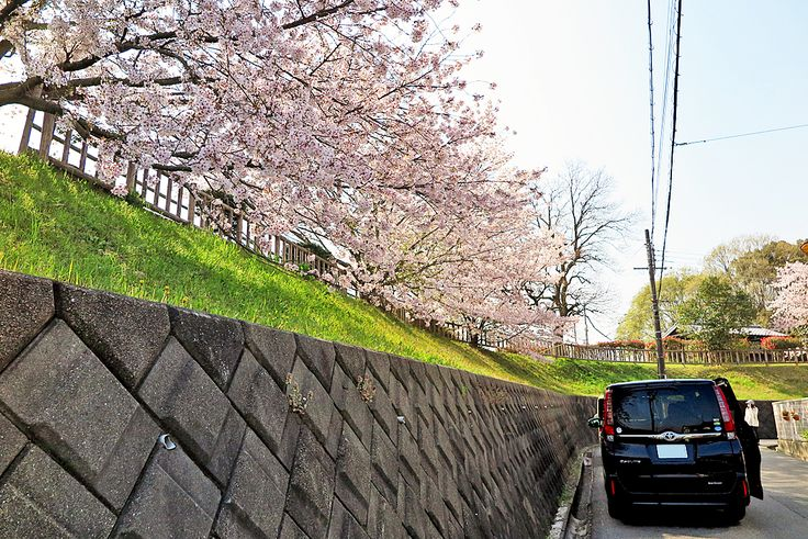 2017年4月14日(金)こんにちは。「北山公園の桜が満開」。今日は年長児による「挨拶運動」の日。送迎バスがお休みだったので、次男を幼稚園まで送り届けました。静かな春の日差しにうらうらとする北山公園の桜(加古川市山手)。ヒラヒラと散る姿が大変美しかったです。ところで桜の散るサインはご存じですか?それは花の中心部。ソメイヨシノにおいては、咲き始めた頃は緑っぽいのですが、赤っぽく変わってきます。これが散り始める合図。全体的にピンクっぽくなってきたということは、今週末あたりが最後のお花見ということになりそうですね(^^  それでは、今日も皆様にとって良い1日になりますように☆ 【加古川・藤井質店】http://www.pawn-fujii.jp/