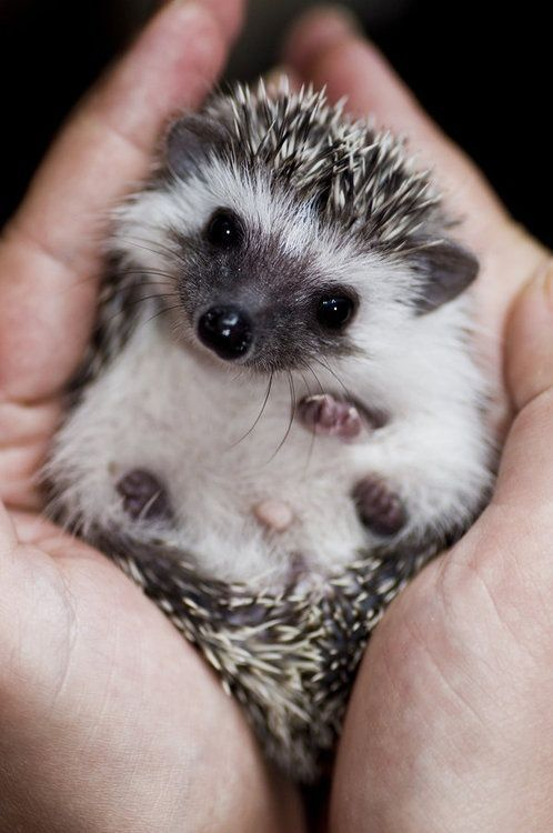 Here's a baby hedgehog for you.