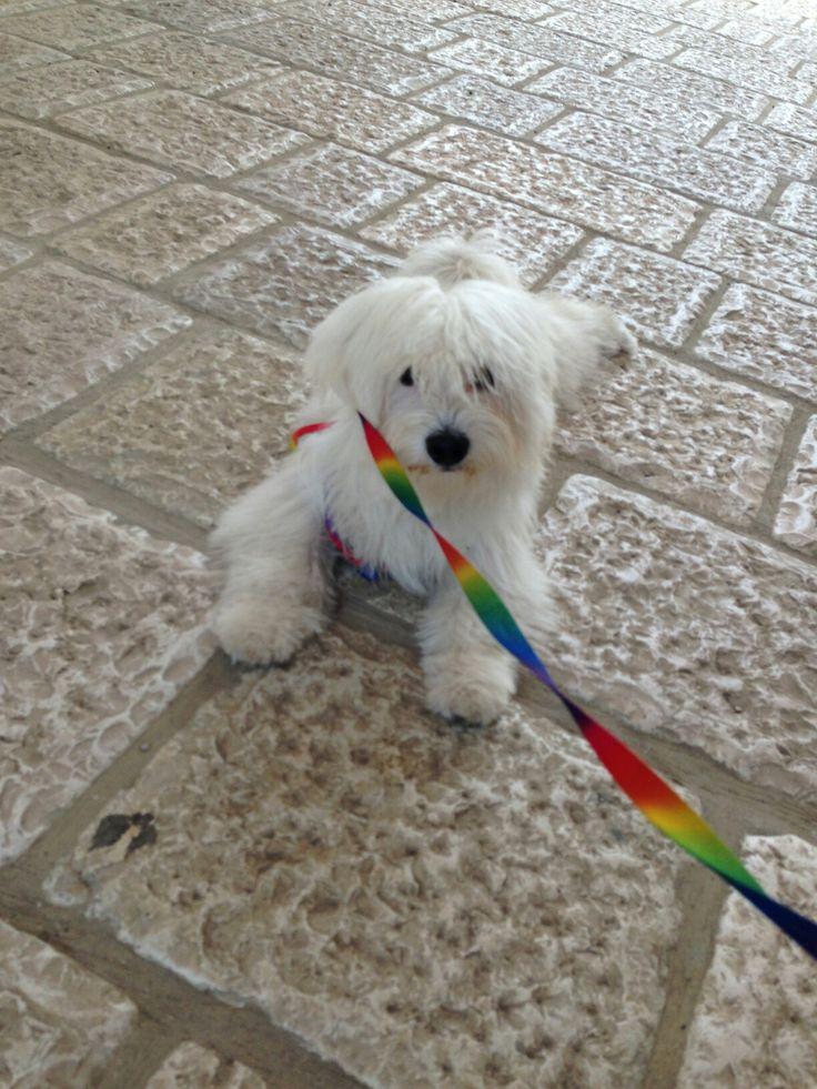 Il mio cagnolino Romeo maltese dolcissimo e bellissimo al mio matrimonio tema arcobaleno con guinzaglio a tema .rainbow dog
