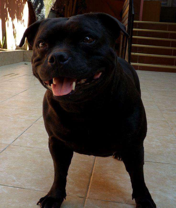 CH Al'MIRA Staffordshire Bull Terrier female Bosphorus Bulls Kennel TÜRKİYE Contact: Facebook/Bosphorus Bulls