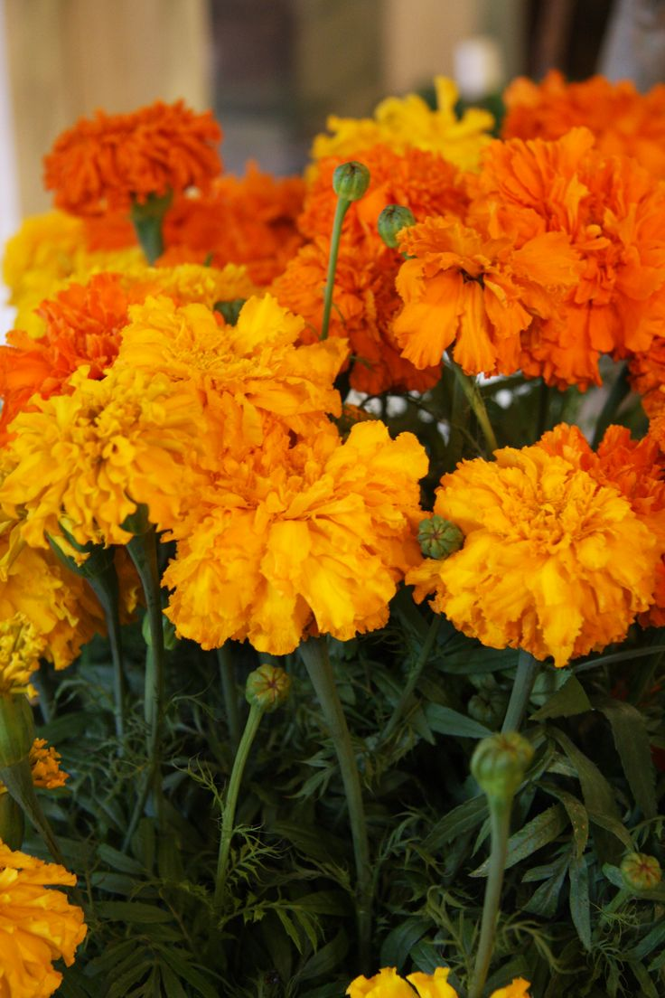 """The Marigold Tarot Major Arcana The: Marigolds: """"The Marigold, That Goes To Bed Wi' The Sun"""