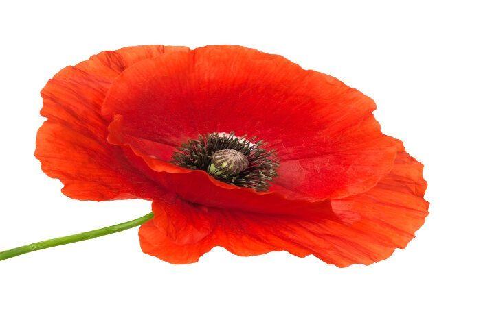 25 best ideas about poppy flower meaning on pinterest - Yellow poppy flower meaning ...