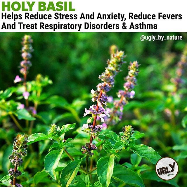 Vitamin C and other antioxidants in Holy Basil apart from repairing damages done by free radicals also minimize the stress caused by these oxidants. They soothe the nerves lower blood pressure reduce inflammation and thus reduce stress.Potassium in Tulsi also reduces blood pressure-related stress by replacingsodiumand loosening the tensed blood vessels.  The miraculous healing properties of Holy basil come mainly from itsessential oilsand the phytonutrients in it. Holy basil is an excellent…