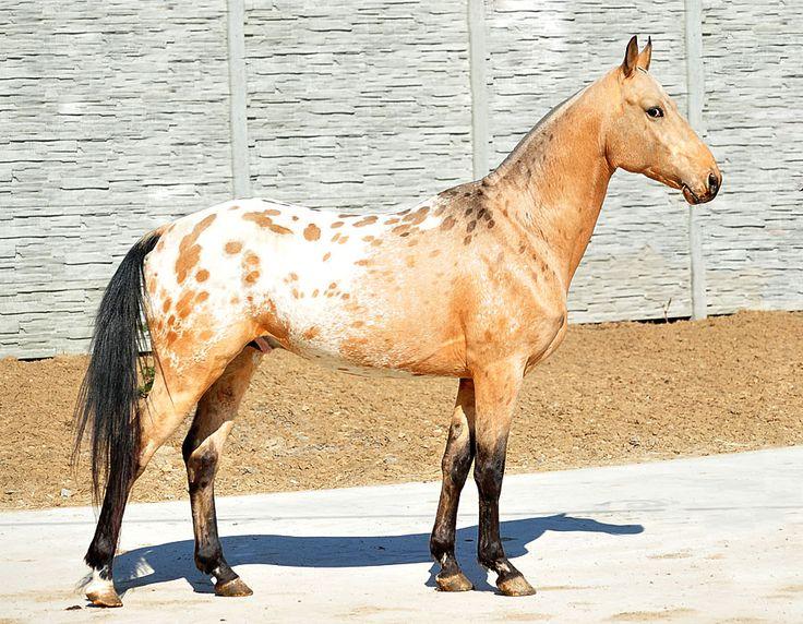 Buckskin spotted blanket appaloosa horse - 50% Akhal-Teke, 25% Arabian, 25% Appaloosa stallion Golden Globe A