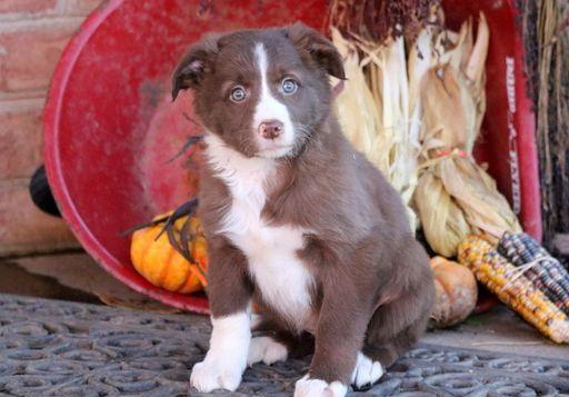 Border Collie puppy for sale in MOUNT JOY, PA. ADN-53645 on PuppyFinder.com Gender: Female. Age: 7 Weeks Old